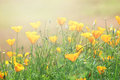 California Golden Poppy flowers Royalty Free Stock Photo
