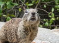 California ground squirrel on the central coast Royalty Free Stock Photos