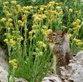 California ground squirrel otospermophilus beecheyi gnawing wildflowers in shoreline Royalty Free Stock Image