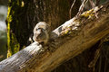 California ground squirrel on a tree Stock Photography
