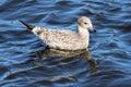 California gull 3 Royalty Free Stock Photo