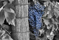 California harvest a blend of a black and white and color image of a cluster of grapes that will be used for winemaking Stock Photography