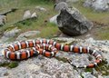 California Mountain Kingsnake Stock Photo