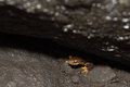 California newt Taricha torosa peeking out from under rock Royalty Free Stock Photo