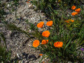 California orange poppy on the ground Royalty Free Stock Photo