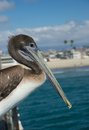 California pelican portrait Royalty Free Stock Photo