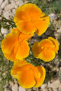 California Poppies Royalty Free Stock Image