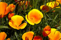 California poppy,eschscholzia californica Royalty Free Stock Photo