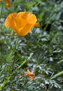 California Poppy (Eschscholzia californica) Royalty Free Stock Photo