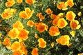 California Poppy Eschscholzia Californica Royalty Free Stock Photo