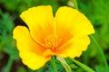 California Poppy, Eschscholzia californica Royalty Free Stock Photo