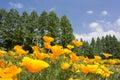 California poppy field Royalty Free Stock Photo