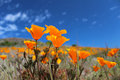 California poppy field in springtime usa of flowers against blue sky Royalty Free Stock Photo