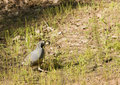 California Quail Stock Photos