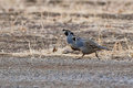 California Quail (Callipepla californica) Stock Photo