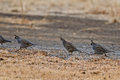 California Quail (Callipepla californica) Stock Images