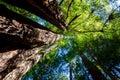 California redwood Sequoia sempervirens Royalty Free Stock Photo