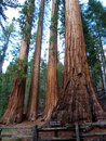 California redwoods Stock Photography