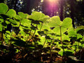 California Redwoods Royalty Free Stock Photography