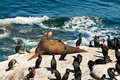 California Sea Lion Royalty Free Stock Photo