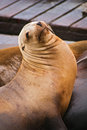 California Sea Lion Royalty Free Stock Images