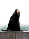 California Sea Lion Stock Photography