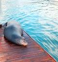 California Sea Lion on dock in Cabo San Lucas Baja Mexico Royalty Free Stock Photo
