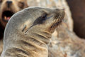 California sea lion portrait side view of Stock Photos