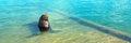 California Sea Lion posing in marina in Cabo San Lucas Baja Mexico Royalty Free Stock Photo