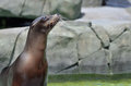 California sea lion a young looks to her left Royalty Free Stock Photo