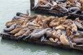 California sea lion zalophus californianus sleeping on a jetty Royalty Free Stock Images