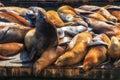 California sea lions zalophus californianus on pier fisherman s wharf harbour san francisco Stock Photos