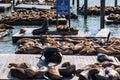 California sea lions zalophus californianus on pier fisherman s wharf harbour san francisco Royalty Free Stock Images