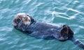 California Sea Otter in Morro Bay on the Central California Coast