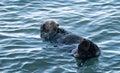 California Sea Otter preening in Morro Bay on the Central California Coast