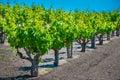 California vineyard Royalty Free Stock Photo