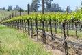 California Vineyard in Spring Royalty Free Stock Photo