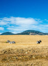 California zebras stand ina field of tall grass along the coastline near big sur Royalty Free Stock Photos