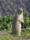 Californian Ground Squirrel closeup Stock Photography