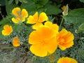 Californian poppy 01 Royalty Free Stock Image