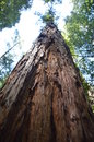 Large Redwood Tree Looking Up Royalty Free Stock Photo