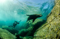 Californian sea lion colony of zalophus californianus from the of cortez mexico Stock Image