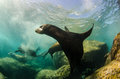 Californian sea lion colony of zalophus californianus from the of cortez mexico Royalty Free Stock Photos