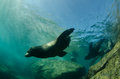 Californian sea lion colony of zalophus californianus from the of cortez mexico Stock Images