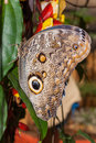 Owl Butterfly, Tropical Rainforest Royalty Free Stock Photo