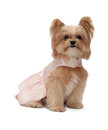Call my name cute mixed breed dog in pink dress looking at camera for being calling isolated in white background with clipping Stock Images