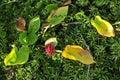 Calla (Bog Arum, Marsh Calla) Royalty Free Stock Photo