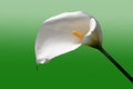 Calla flower white close up Stock Photography