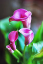 Calla lilies Stock Photography
