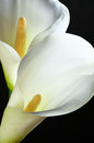 Calla lilies close-up Royalty Free Stock Photo